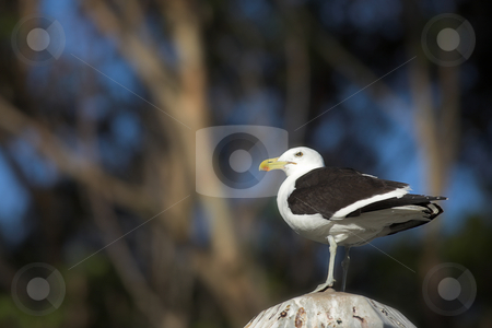 Seagull #1 stock photo, Cape Gull (Larus Vetula) perched on a stand in sunlight - Copy Space by Sean Nel