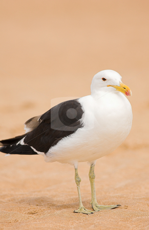 Seagull #10 stock photo, Cape Gull (Larus Vetula) standing on a beach - Copy Space by Sean Nel