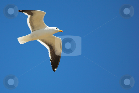 Seagull #17 stock photo, Cape Gull (Larus Vetula) soaring, sun shining through feathers - Copy Space by Sean Nel