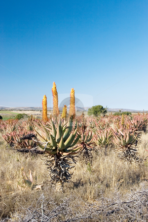 Plants #4 stock photo, Flowering Aloes in an Aloe field - South Africa by Sean Nel