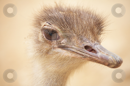 Scruffy male ostrich stock photo, Portrait of a scruffy male ostrich with copy space. Shallow Depth of Field by Sean Nel