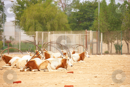 Oryx in Zoo stock photo, Herd of Oryx in a zoo in Qatar by Sean Nel