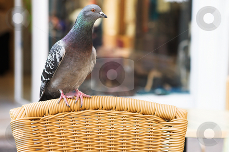 Antibes #183 stock photo, A pigeon on a chair, begging.  Shallow D.O.F.  Copy space. by Sean Nel