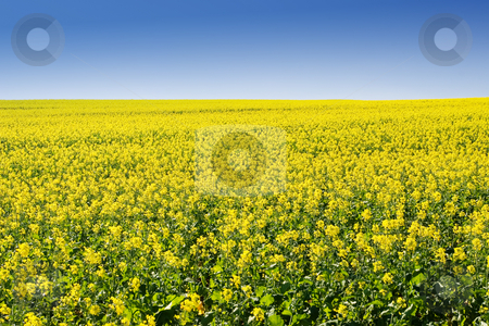 Farm #5 stock photo, Field of Flowers - Western Cape, South Africa by Sean Nel