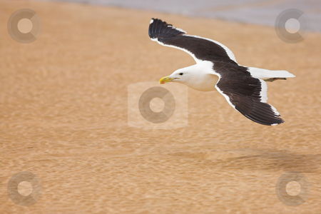 Seagull #6 stock photo, Cape Gull (Larus Vetula) soaring over a beach - Copy Space by Sean Nel