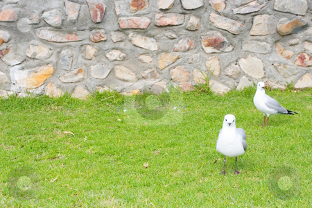 Bird #9 stock photo, Seagulls sitting on grass - copy space by Sean Nel