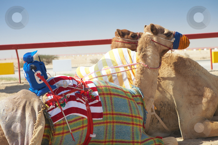 Robot camel racing stock photo, Robot controlled camel racing in the desert of Qatar, Middle East, on a sunny day. Racing camels warming up in the morning sun on the Racetrack. Focus on remote control rider by Sean Nel
