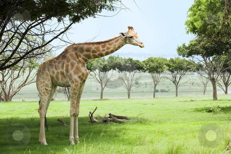 Giraffe in the veldt stock photo, Single giraffe standing in the veldt under a tree under the green grass. by Sean Nel