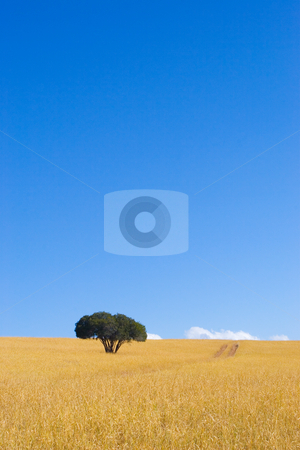 Cape Trees #1 stock photo, Single green tree in dry yellow grass with blue sky by Sean Nel