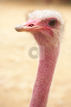 Female ostrich stock photo, Portrait of a female ostrich with copy space. Shallow Depth of Field by Sean Nel