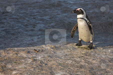 Jackass Penguin #32 stock photo, Tagged Jackass Penguins (Spheniscus demersus) from the Simons Town Colony, Western Cape, South Africa by Sean Nel