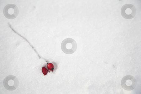 Munich #16 stock photo, Red plant in snow.  copy space. by Sean Nel