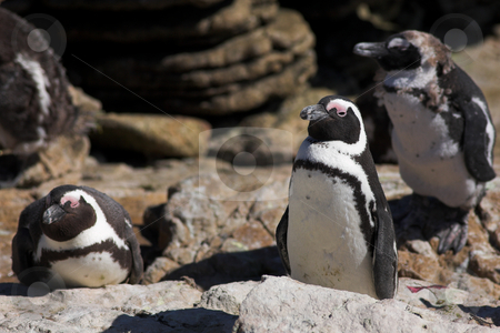 Jackass Penguin #3 stock photo, Jackass Penguins (Spheniscus demersus) from Stoney Point, Western Cape, South Africa by Sean Nel