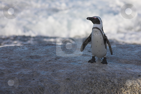 Jackass Penguin #34 stock photo, Tagged Jackass Penguins (Spheniscus demersus) from the Simons Town Colony, Western Cape, South Africa by Sean Nel