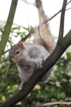 London#11 stock photo, Squirrel in a tree.  Shallow D.O.F by Sean Nel