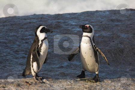 Jackass Penguin #36 stock photo, Jackass Penguins (Spheniscus demersus) from the Simons Town Colony, Western Cape, South Africa by Sean Nel