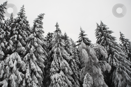 Snow Landscape #10 stock photo, Fir trees covered in snow, Kirchberg - German Alps by Sean Nel