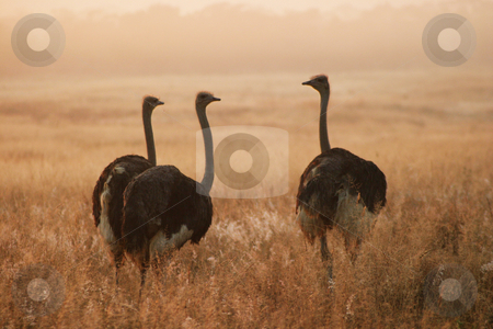 Three Ostriches stock photo, Three ostriches standing at sunrise by Sean Nel