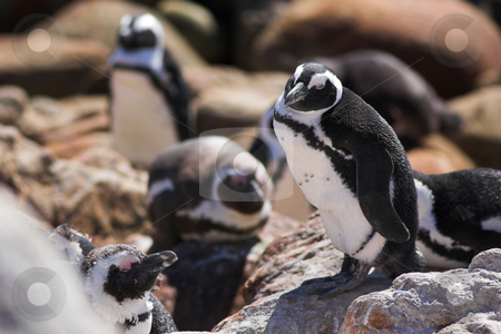 Jackass Penguin #16 stock photo, Jackass Penguins (Spheniscus demersus) from Stoney Point, Western Cape, South Africa - Eyes Closed by Sean Nel