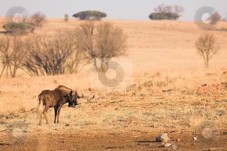 Wildebeest #1 stock photo, Black wildebeest grazing in the veldt  by Sean Nel