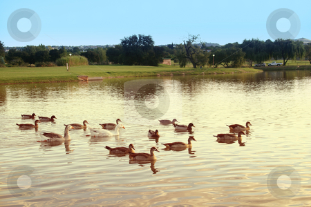 Ducks and geese stock photo, Ducks and Geese swimming in a pond by Sean Nel