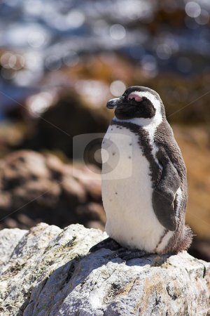 Jackass Penguin on the rocks stock photo, Jackass Penguins (Spheniscus demersus) from Stoney Point, Western Cape, South Africa by Sean Nel