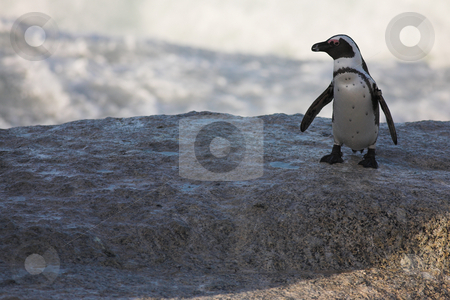 Jackass Penguin on the rocks stock photo, Tagged Jackass Penguins (Spheniscus demersus) from the Simons Town Colony, Western Cape, South Africa by Sean Nel