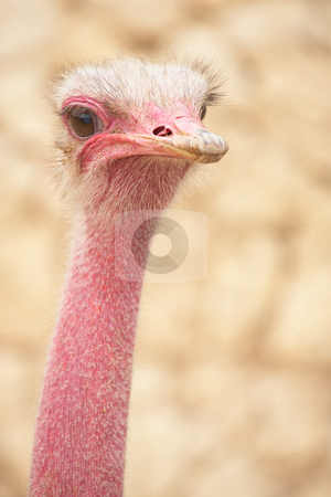 Ostrich stock photo, Portrait of a female ostrich with copy space. Shallow Depth of Field by Sean Nel