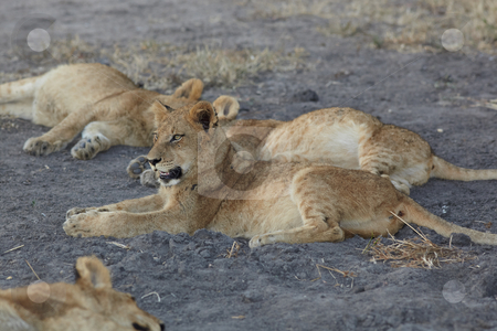Lions at rest stock photo, Young lion cubs resting in the early morning light after a night of hunting in the African bush by Sean Nel