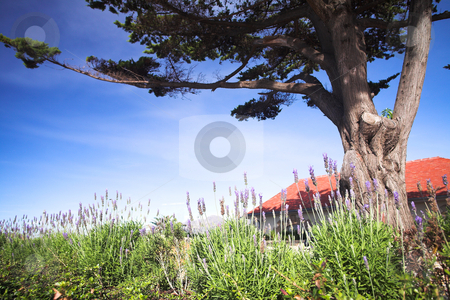Lavender under a tree stock photo, Purple and green lavender bushes under a big tree against a blue sky in the summer. Shallow Depth of Field  by Sean Nel