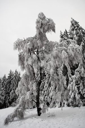 Snow Landscape #11 stock photo, Fir trees covered in snow, Kirchberg - German Alps by Sean Nel