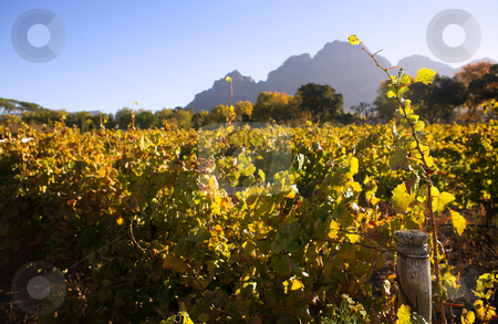 Western Cape Vineyards stock photo, Vineyards in the Western Cape, South Africa, at the beginning of Autumn by Sean Nel