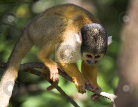 Cute squirrel monkey stock photo, Cute squirrel monkey (Saimiri) at monkey world in South Africa by Sean Nel
