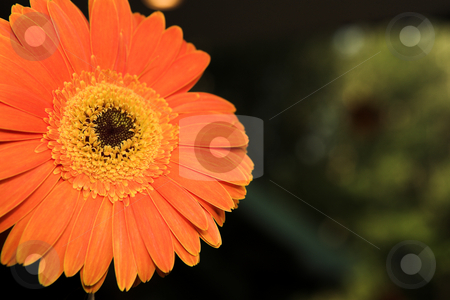 Single orange gerbera stock photo, Single face of orange gerbera flower against a dark green natural background. Shallow Depth of Field with focus on flower center. by Sean Nel