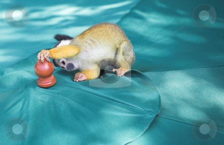 Cute squirrel monkey stock photo, Cute squirrel monkey (Saimiri) playing with umbrella at monkey world in South Africa by Sean Nel