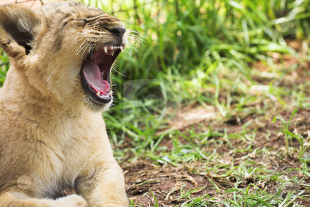 Lion Cub #1 stock photo, The King of the Jungle - In Training. Copy Space by Sean Nel
