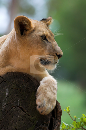 White Lion #5 stock photo, Lioness (Panthera Leo) lying down in a tree, South Africa by Sean Nel