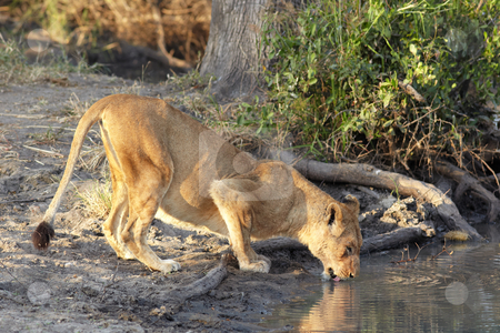 Lioness drinking stock photo, Young lioness cub drinking water in the early morning light after a night of hunting in the African bush by Sean Nel