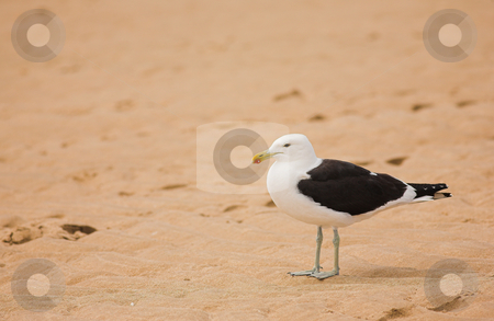 Seagull #8 stock photo, Cape Gull (Larus Vetula) standing on a beach - Copy Space by Sean Nel