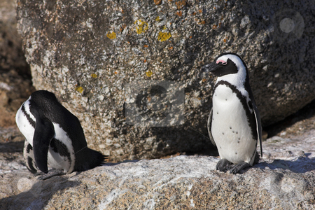 Jackass Penguins on the rocks stock photo, Jackass Penguins (Spheniscus demersus) from the Simons Town Colony, Western Cape, South Africa by Sean Nel
