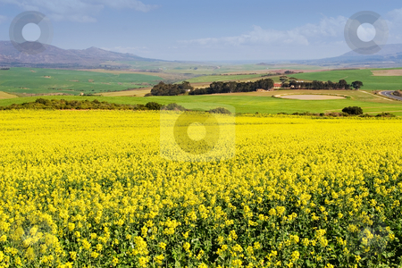 Farm #2 stock photo, Field of Flowers - Western Cape, South Africa by Sean Nel
