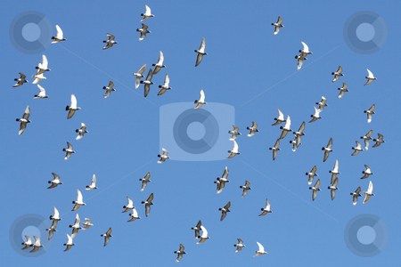 Birds in flight stock photo, Birds in flight agains blue sky by Sean Nel