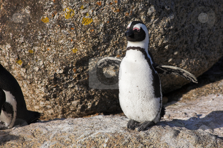 Jackass Penguin #24 stock photo, Jackass Penguins (Spheniscus demersus) from the Simons Town Colony, Western Cape, South Africa by Sean Nel