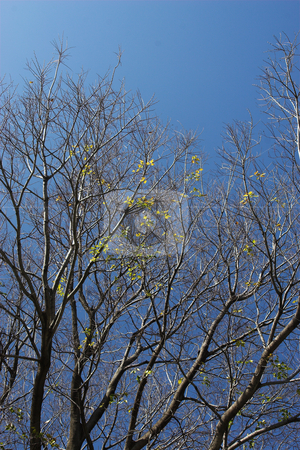 Tree #6 stock photo, Leafless tree against blue sky by Sean Nel