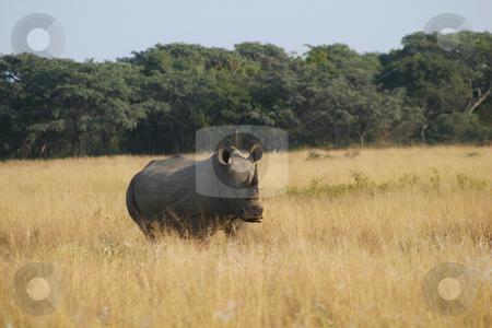 Waiting rhino stock photo, Rhino standing alone in the veld by Sean Nel