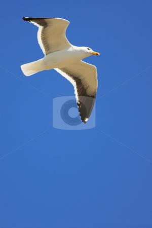 Seagull #18 stock photo, Cape Gull (Larus Vetula) soaring, sun shining through feathers - Copy Space by Sean Nel