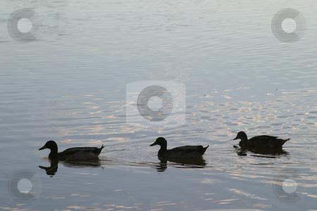 Three ducks stock photo, Three ducks on a dam by Sean Nel