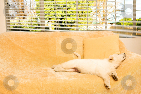 Puppy #2 stock photo, Small puppy lying on a beige couch in front of a window by Sean Nel