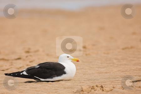 Seagull #11 stock photo, Cape Gull (Larus Vetula) brooding on a beach - Copy Space by Sean Nel