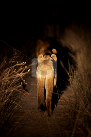 Hunting lion cub stock photo, Young lion cub on the hunt in the african bush at night, on a bush path lit with spotlights by Sean Nel